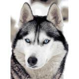 Casa Rosso Faux Mink Blanket QB Wolf blue eyes